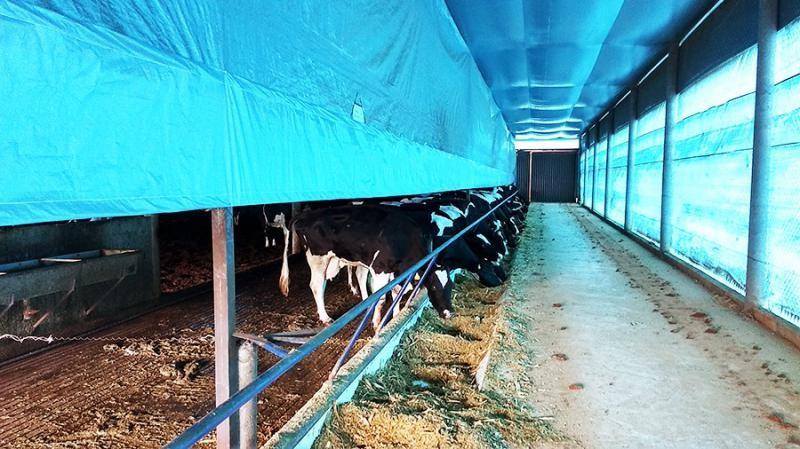 Cross ventilation para vacas